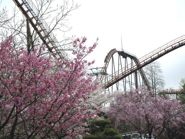 よみうりランド 聖地公園の桜(4)
