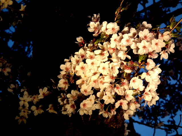 よみうりランド 桜のライトアップ(2)