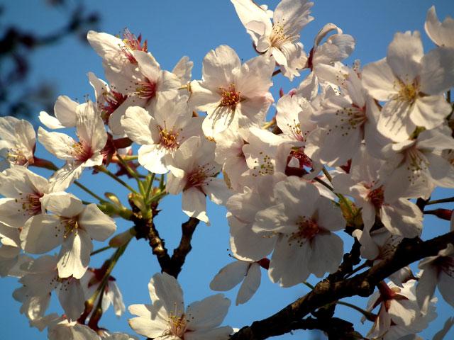 よみうりランド 桜のズームイン