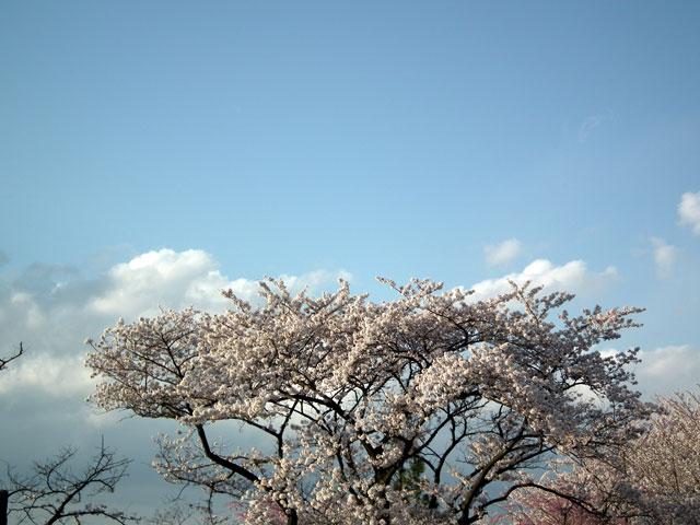 よみうりランド 桜と青い空と
