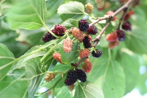 mulberry-20140604.jpg