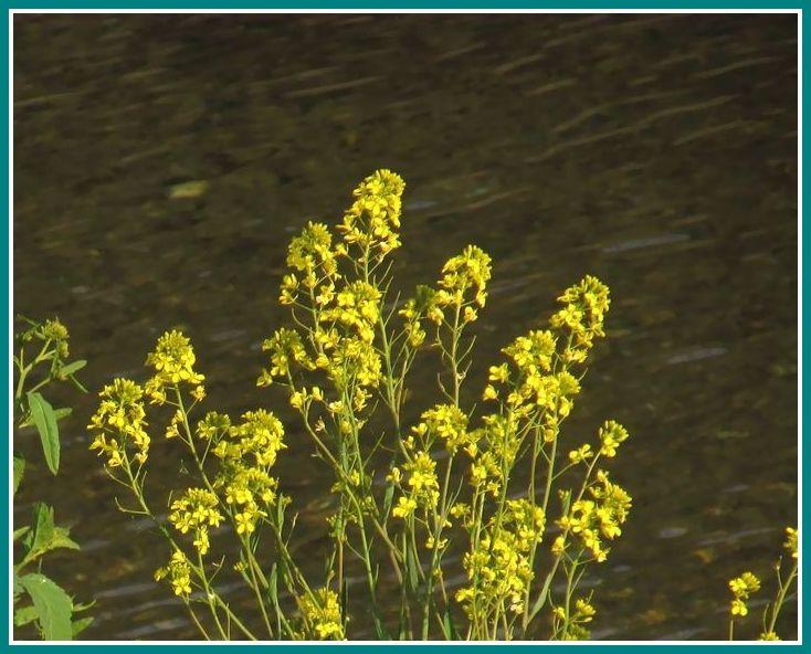 2014 3 12 菜の花