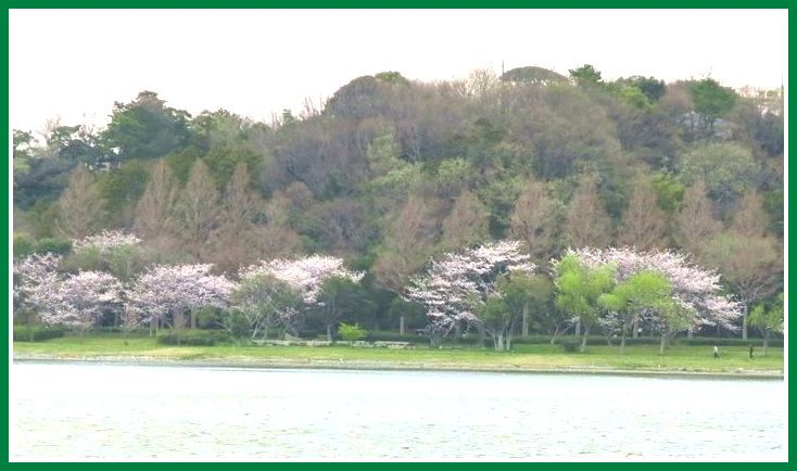 2014 3 31 pm サクラ 3 佐鳴湖