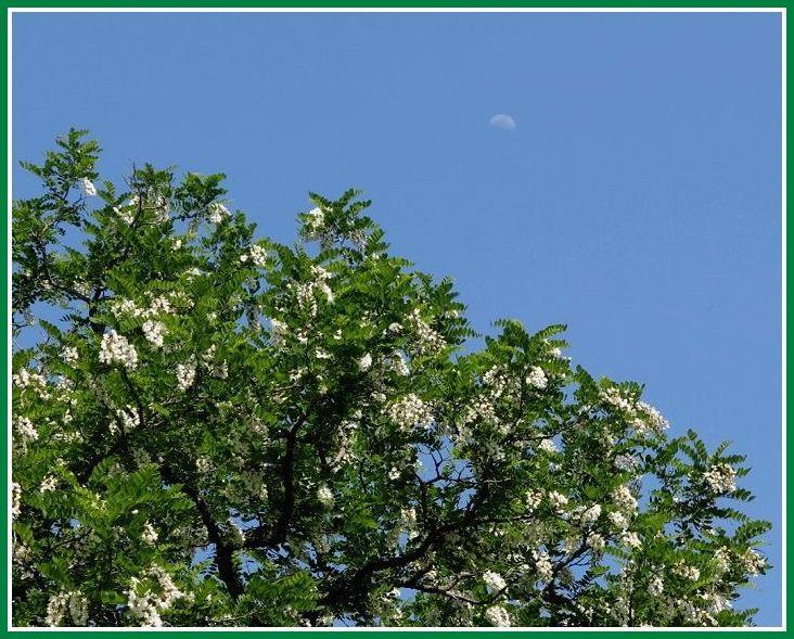 ニセアカシア 3 20145 和地山公園 126