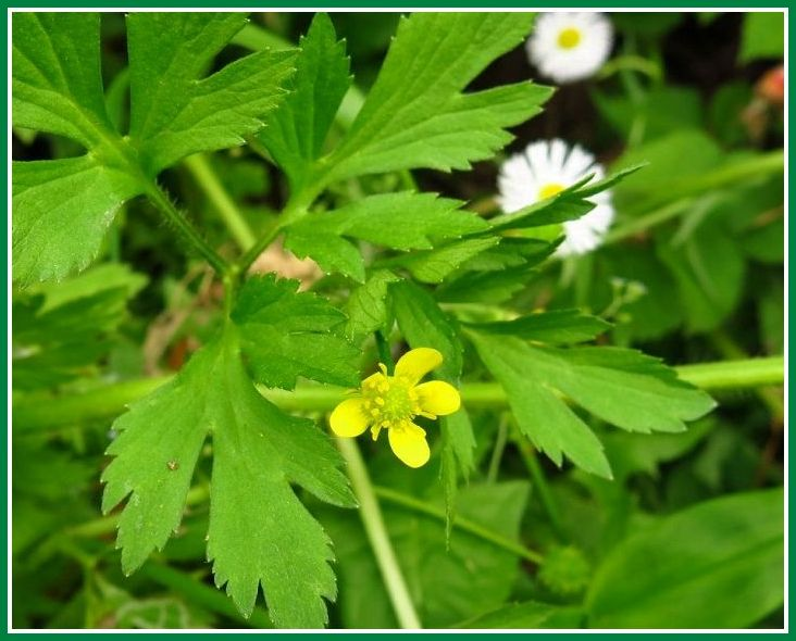 ケキツネノボタン  花と葉 1