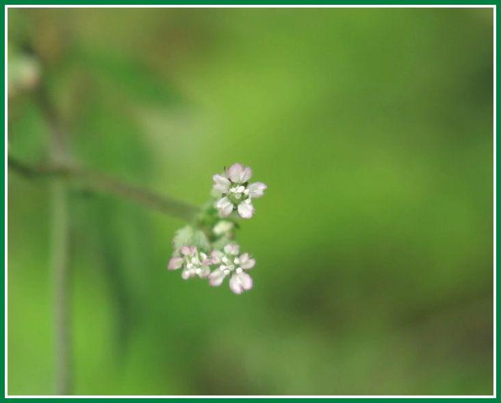 オヤブジラミ 花 マクロ 2014 5 14
