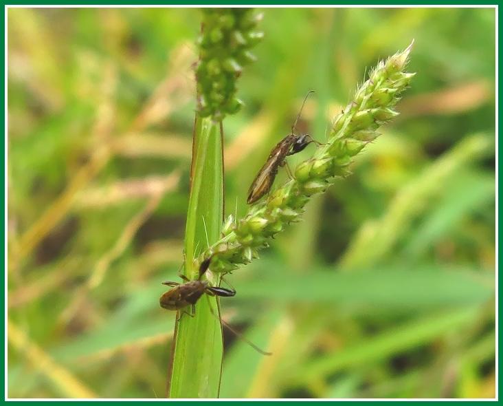 ヒメイヌビエ 2014 7 5 花穂 昆虫 d