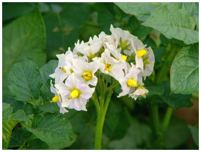 ジャガイモの花 2004 5 15 up10