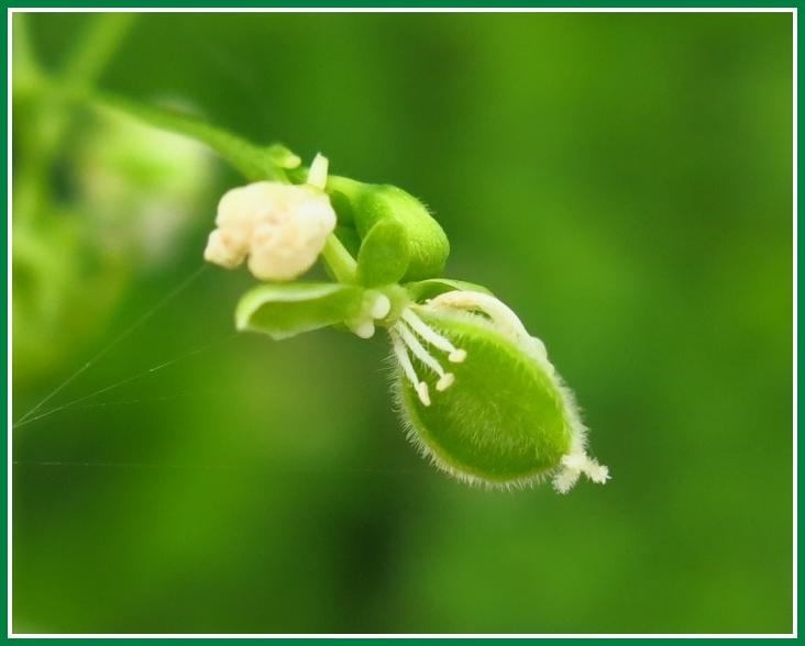 フウセンカズラ 花後 若い実2014 8 g