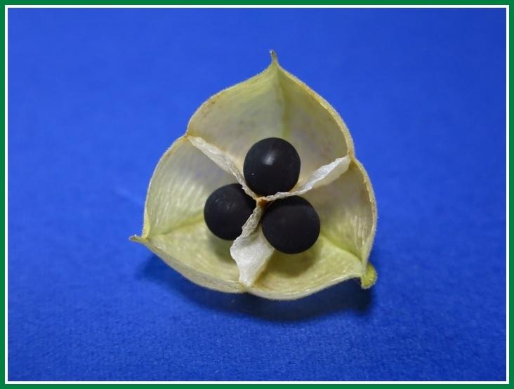 フウセンカズラ 種子 熟した2014 8 j