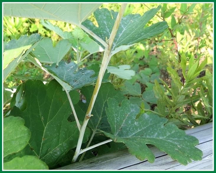 タケニグサ 2014 8 26 葉と茎 c