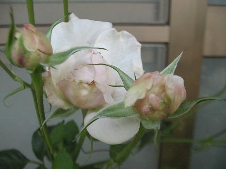 あんじゅ (2)