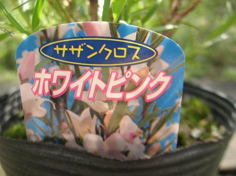 サザンクロス・ホワイトピンク (3)