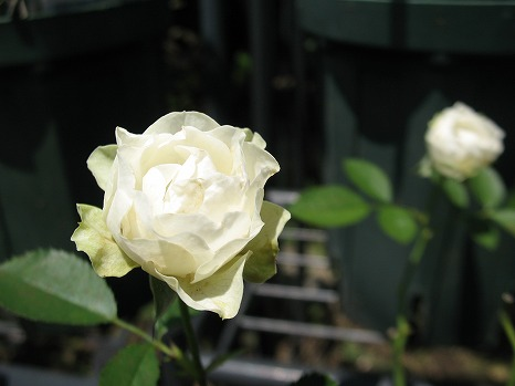 ホワイトマカロン