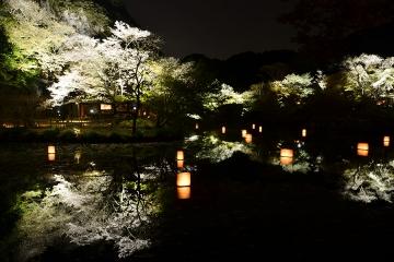 夜桜(1)