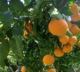 キヨミオレンジの収穫