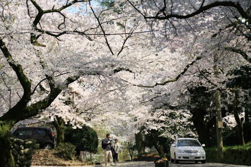 高岡古城公園、お花見