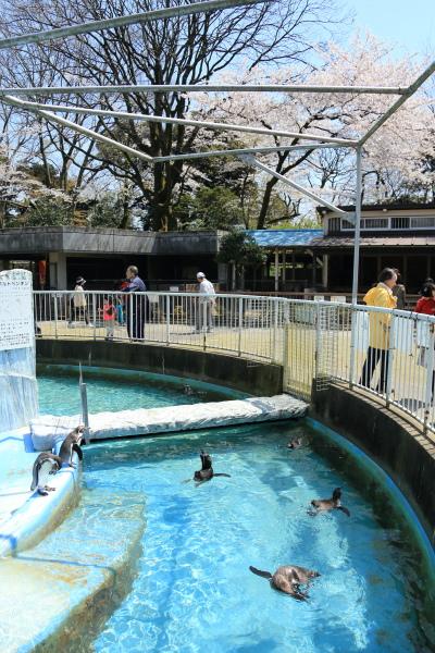 高岡古城公園桜満開 (2)