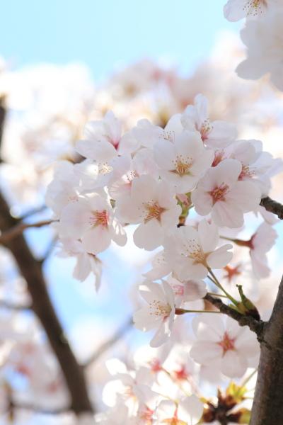 高岡古城公園桜満開 (1)