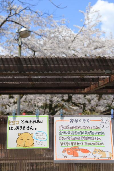 高岡古城公園桜満開 (3)