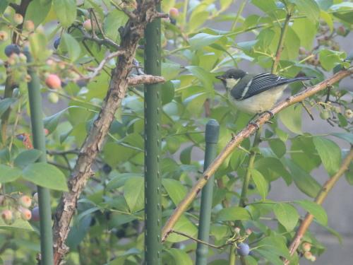 blueberry wo nerau sijuukara (2)