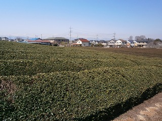 山際観音茶畑