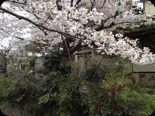 京都さくら