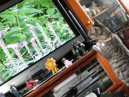 猫が見るDVDを見るネコ