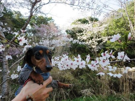 桜とUMA