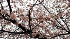 0327sakura01.jpg