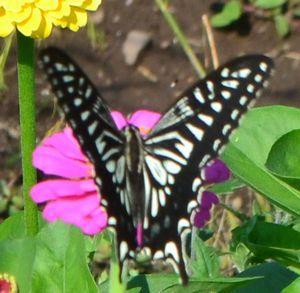 018アゲハ蝶