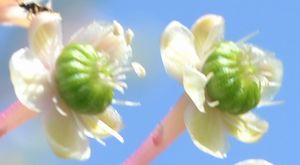 021ヨウシュヤマゴボウ花