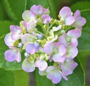 009紫陽花