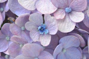 010紫陽花1