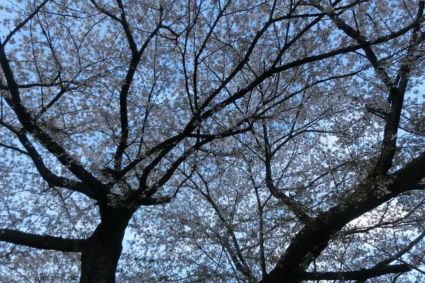 桜花の季節