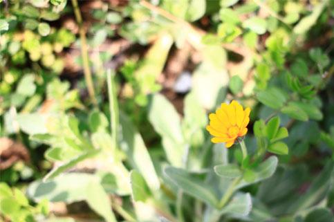 雪柳のしたの黄色い花