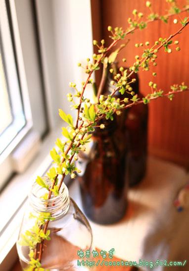 雪柳の挿し芽