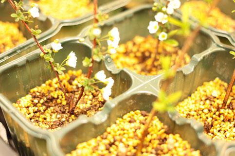 雪柳の挿し芽3