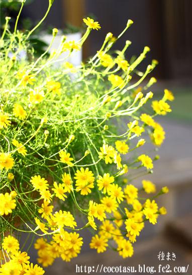 黄色い花の種まき