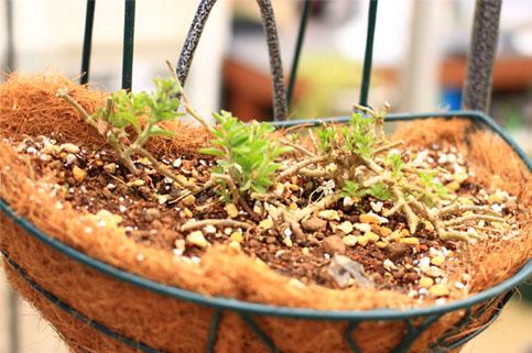 八重咲きペチュニアライラックブルー