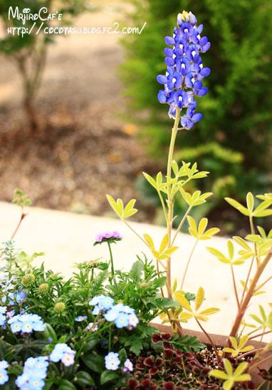 青の寄席植えルピナス