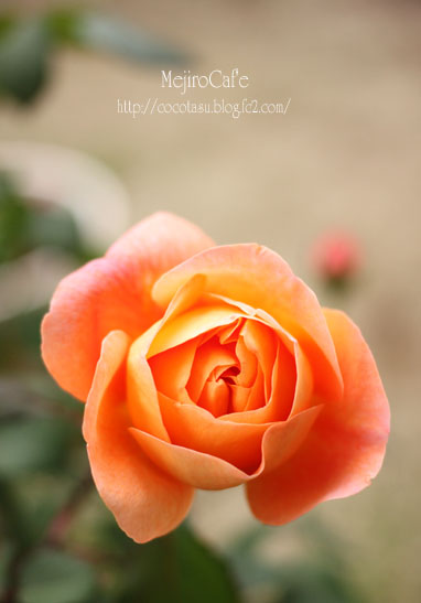 バラエマハミルトン開花