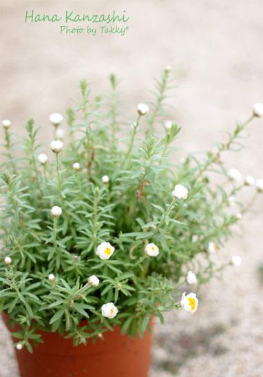 花かんざし0515