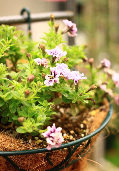 140605サフィニアブーケ紫