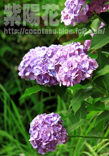 140620紫陽花