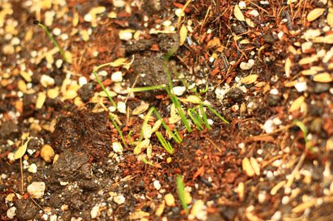 140625ねぎの芽