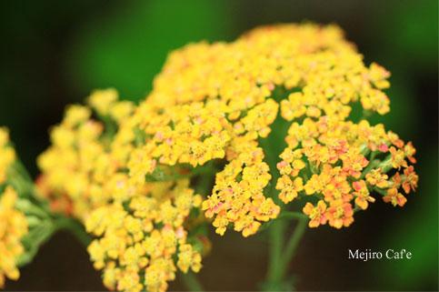 140704西洋ノコギリソウ黄色
