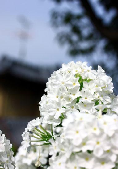140720白い花2