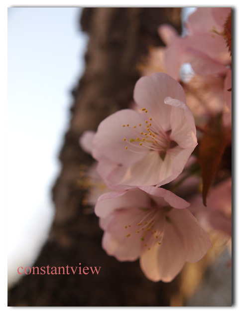 さくら・春