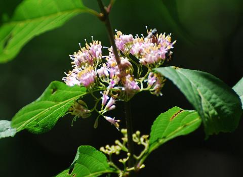 ムラサキシキブにきれいな花が